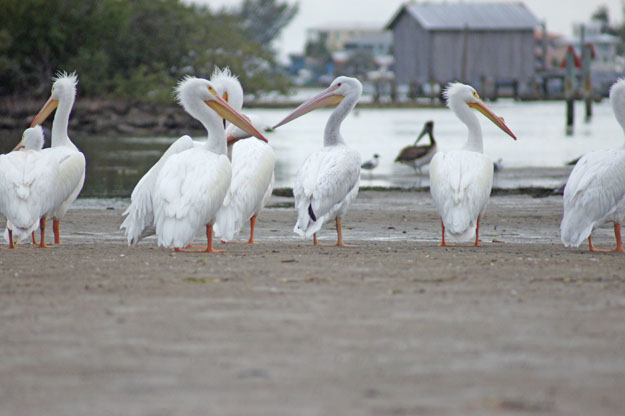 Group Pelicans