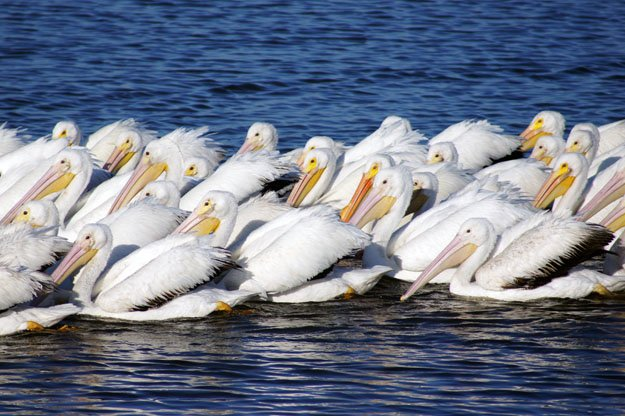 White Pelicans Flock Water