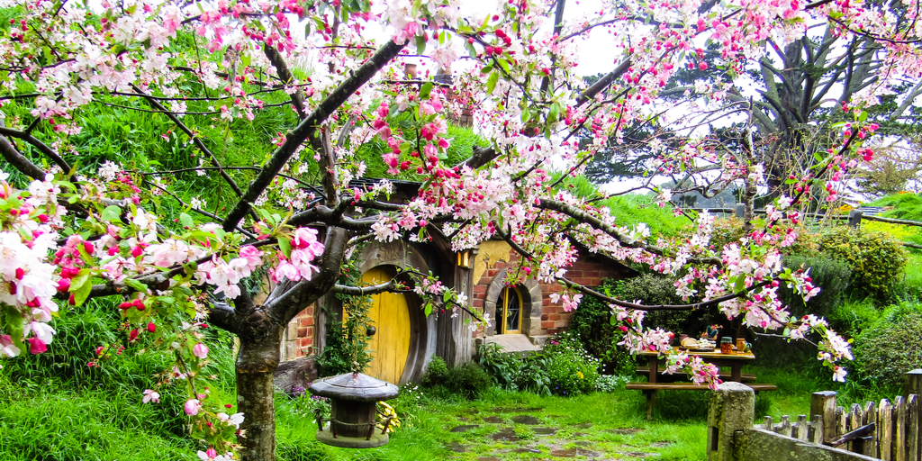 new zealand cherry blossoms