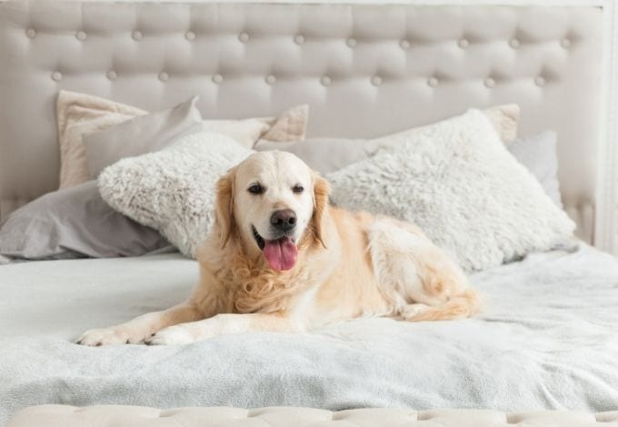 A golden retriever sitted on an hotel bed.