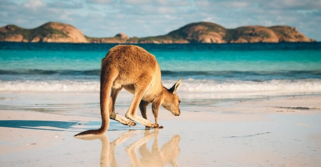 Kangaroo jumping on the white sand of the Lucky Bay Beach, in Australia.