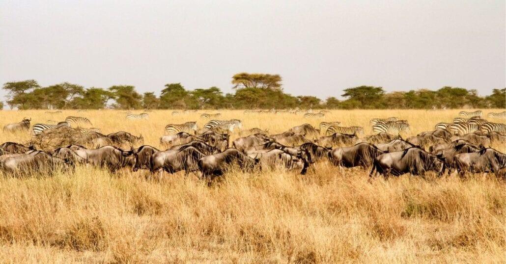 Zebras in the African savannah of the Serengeti National Park, Tanzania.