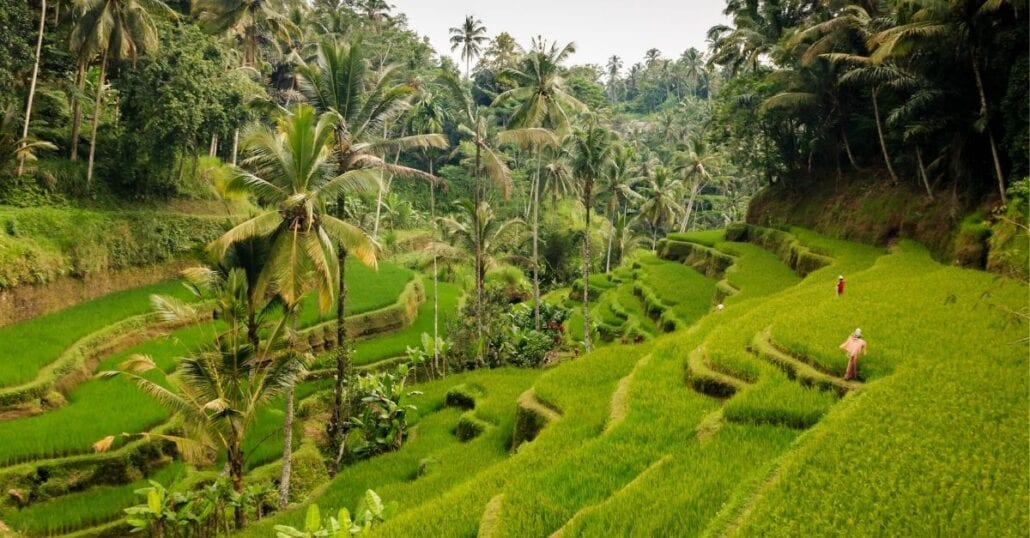 View of the green Tegalalang Rice Fields, where rice is harvested in Bali.