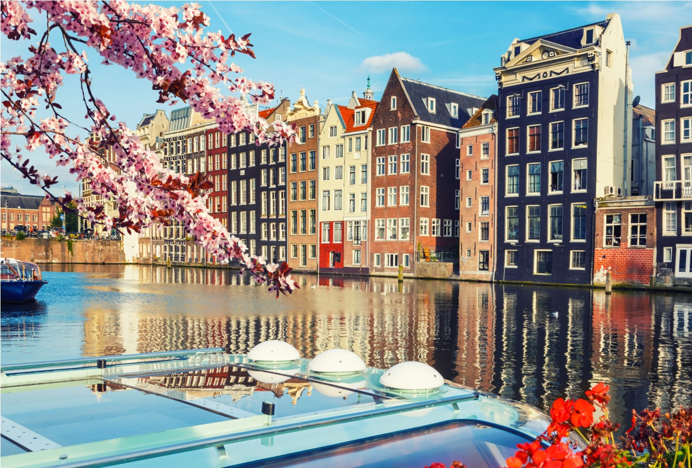 A cherry blossom tree in front of a typical Amsterdam canal lined with houses.