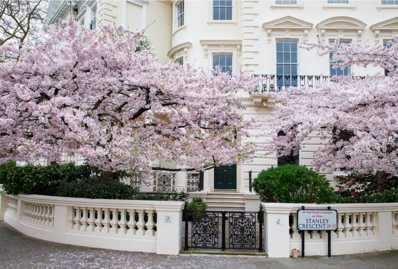 Cherry tree blooming outside  building in Central London.