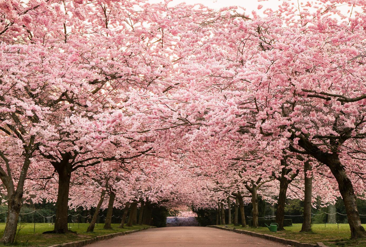 Beautiful cherry blossom at Kirsebæralléen, Copenhagen
