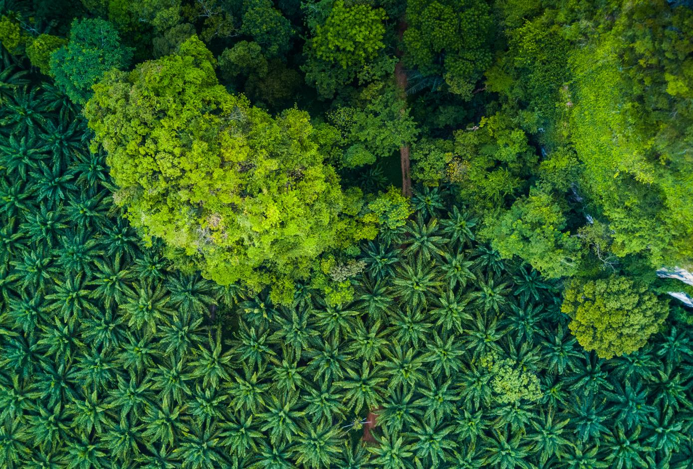 Aerial view of a palm forest.
