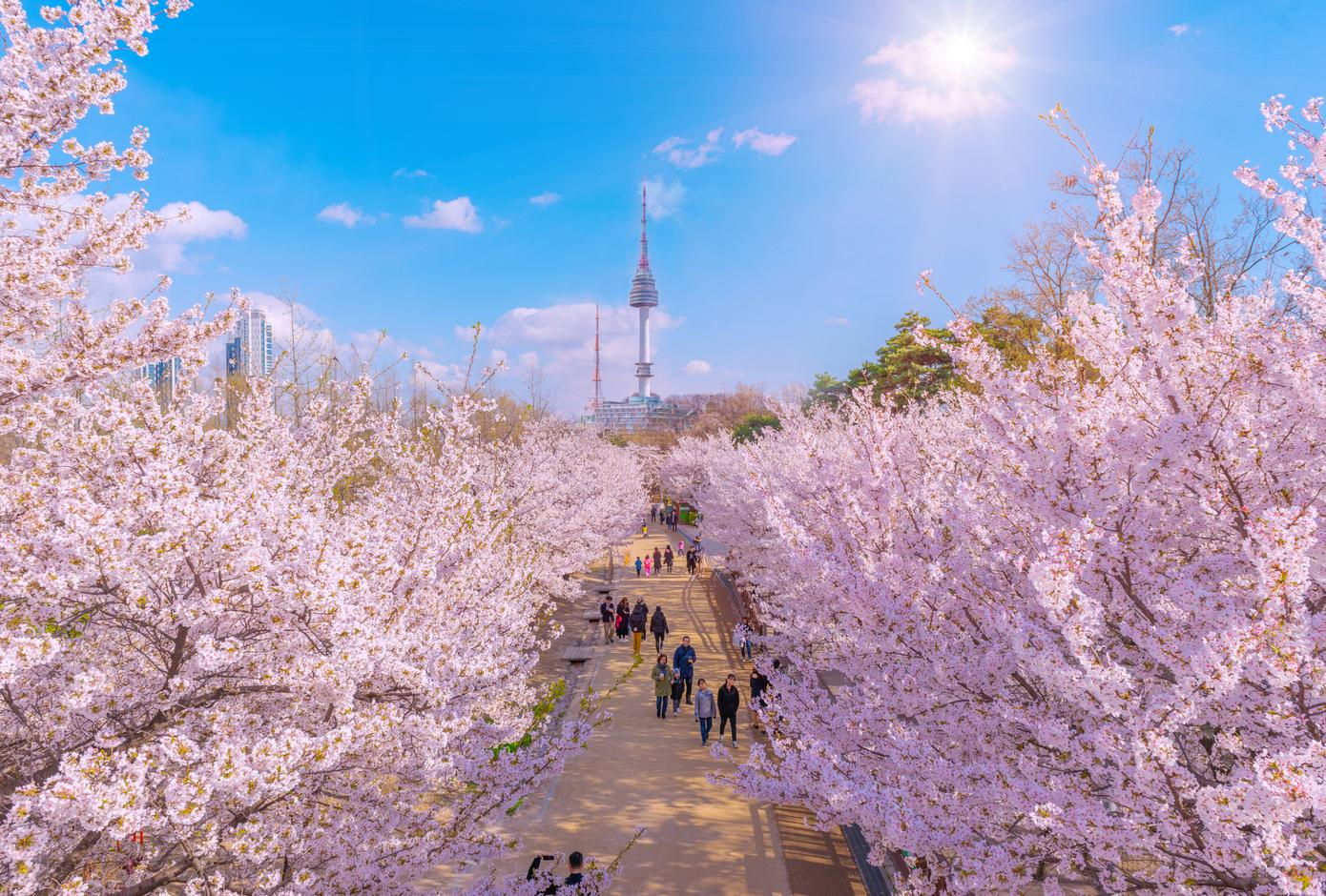 Cherry blossom trees at the Seoul Forest Park in Seoul, South Korea.