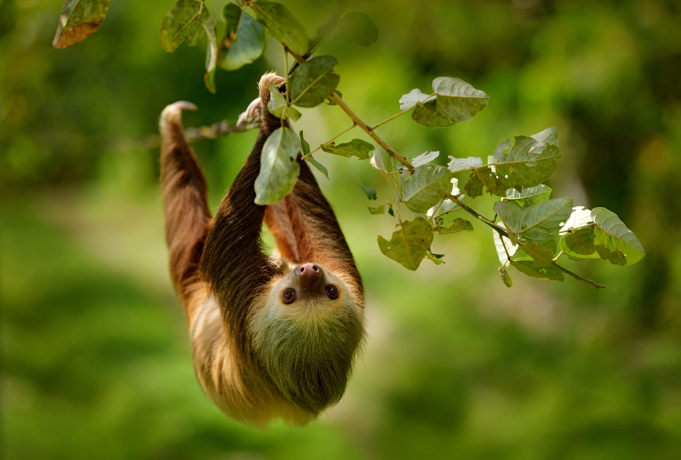 Sloth climbing on the tree in a rainforest.