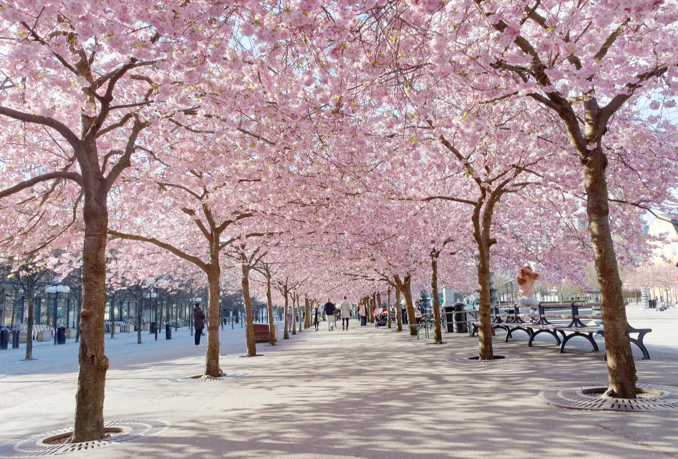 Kungstradgarden with a blooming cherry tree avenue, in Stockholm.