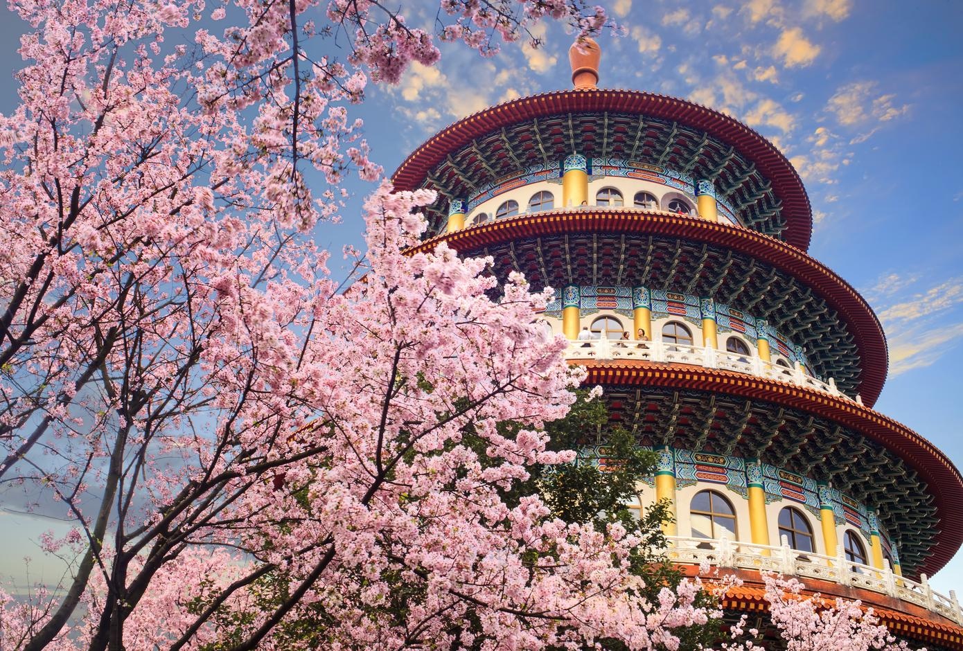 Cherry blossom trees Taipei, Taiwan