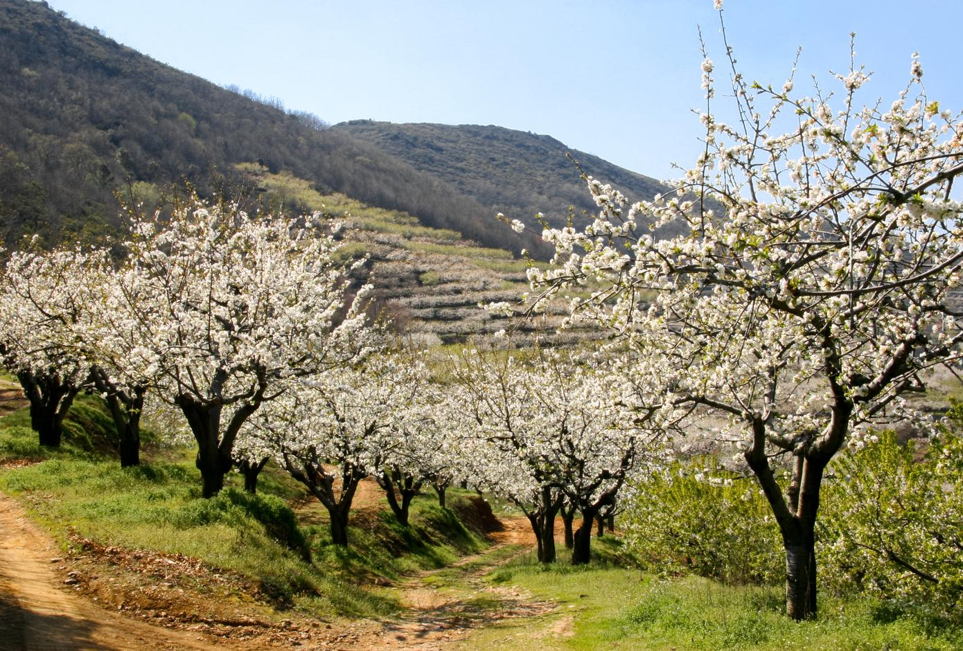 View of cherry blossom between mountains and terraces in Cáceres, Spain