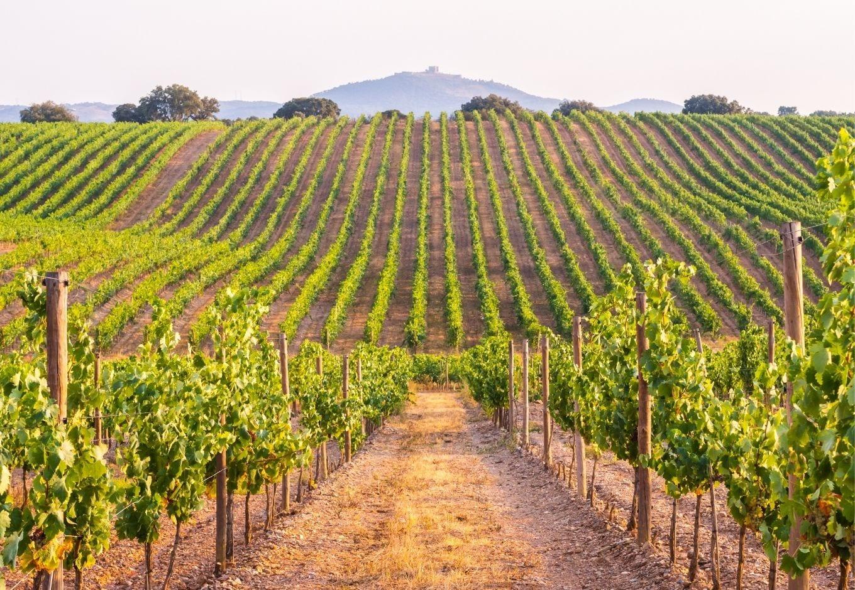 View of an extensive green vineyard.