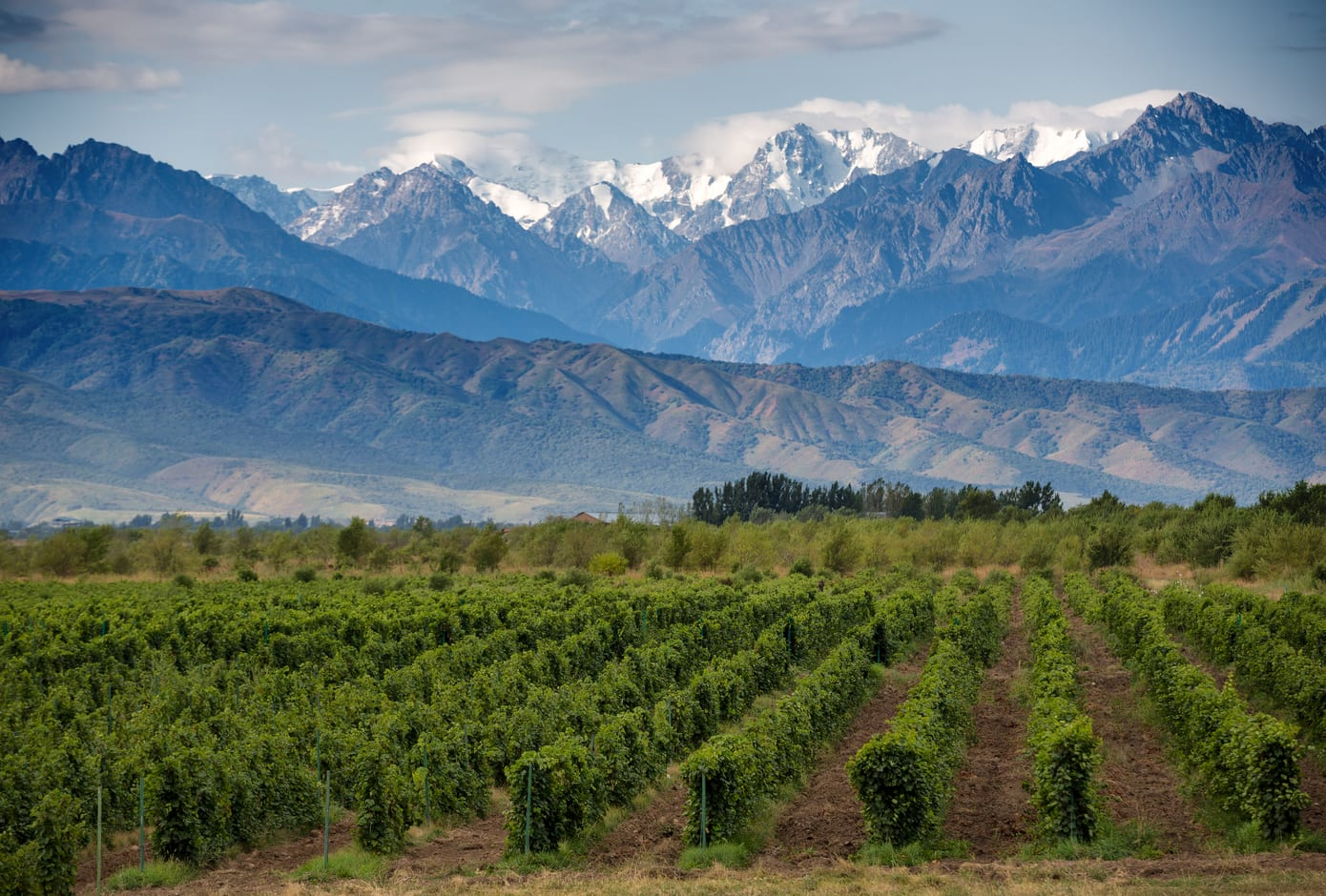 A Vineyard framed by snow-capped mountains in Mendoza, Argentina.