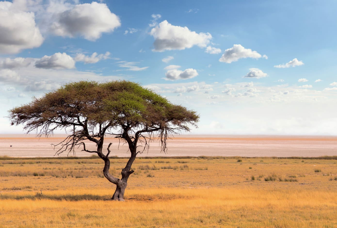 Acacia tree in Botswana, Africa.