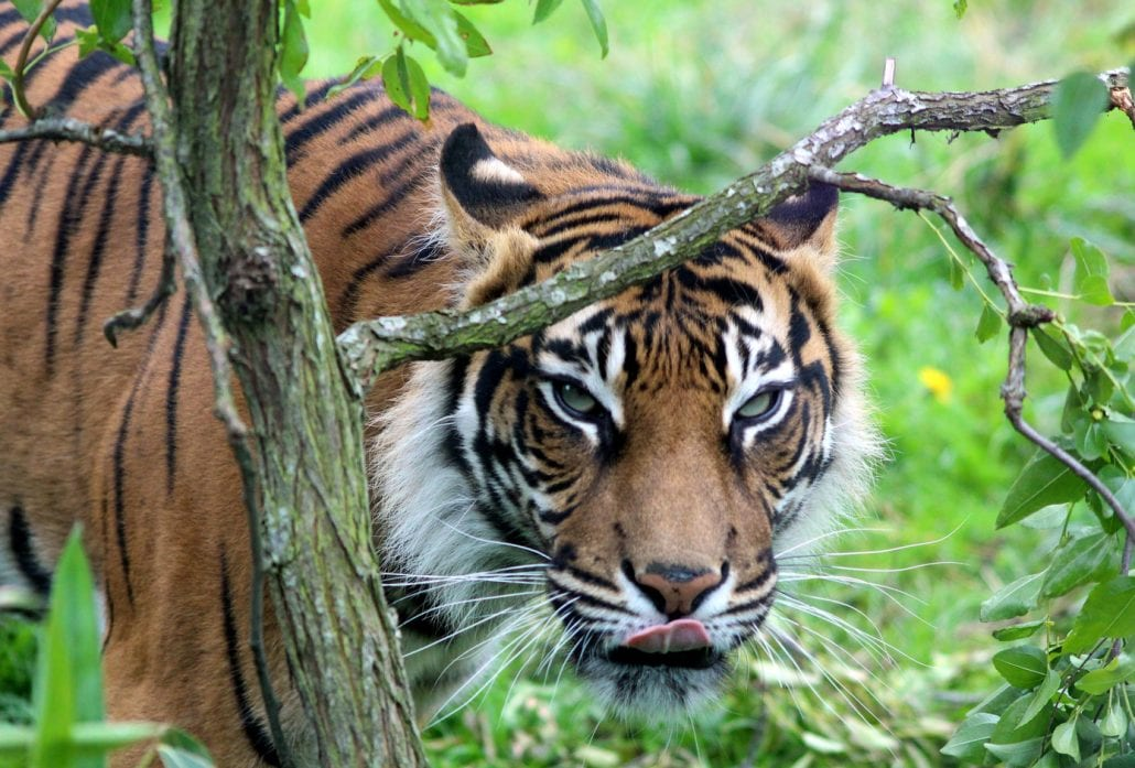 A tiger surrounded by nature at the London Zoo.